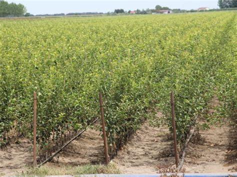 vivai piante da frutto vivai salvi stile italiano per natura agronotizie