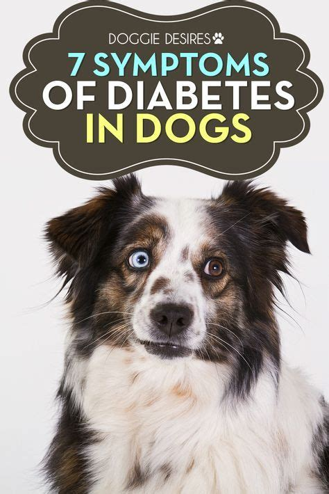 diabetes in dogs symptoms best 20 diabetes in dogs ideas on diabetic dogs with diabetes and