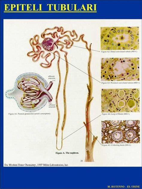 tappeto di leucociti 2006 l esame sedimento urinario tra artigianato ed