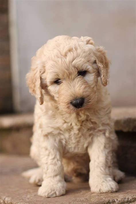 goldendoodle puppy colorado goldendoodles puppies for sale colorado f1b labradoodle