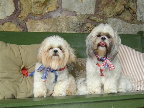 shih tzu lhasa apso expectancy difference between shih tzu and lhasa apso shih tzu city
