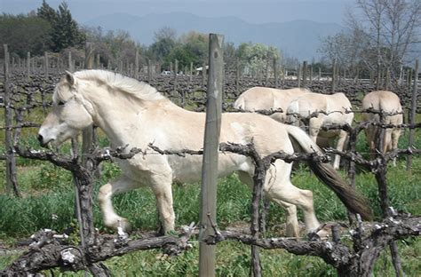 fjord vineyards why more winemakers are upping their horse power wine