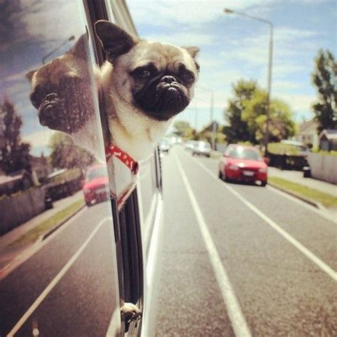 pug hair fall yeah almost weekend let s go what the pug pug lets
