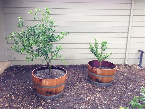 Barrell Planter by Wine Barrel Planters In A Nutshell