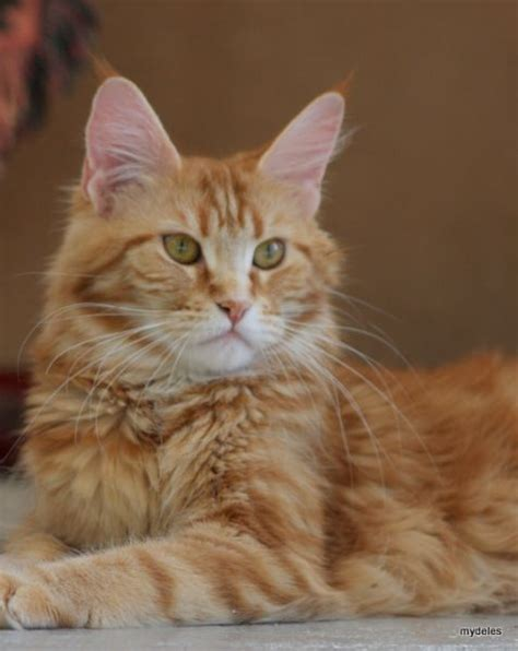 american wirehair cat breeders american wirehair cat breeder cattery about animals
