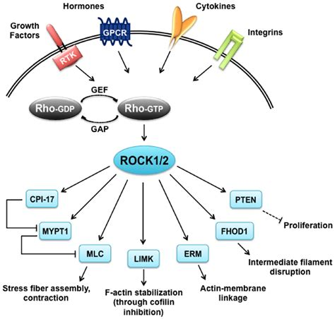 a rho frontiers the function of rho associated kinases rock1