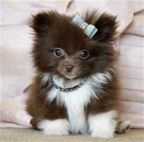 white and brown pomeranian brown and white pomeranian puppy brown and white pomeranian almost as as my