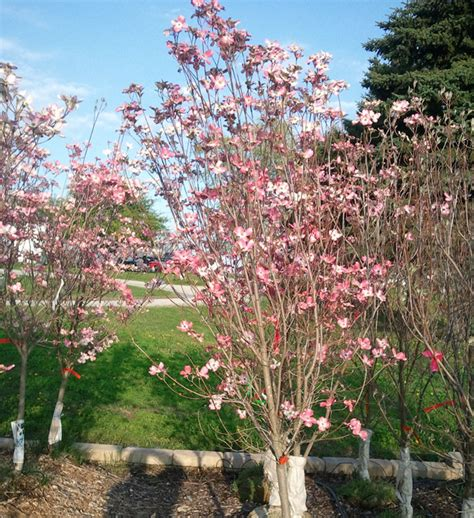 white flowering dogwood tree facts