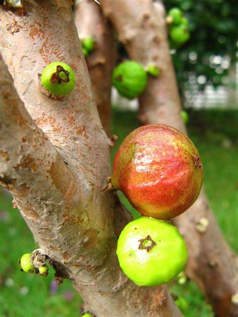 b q fruit plants 134 best fruit trees images on fruit trees