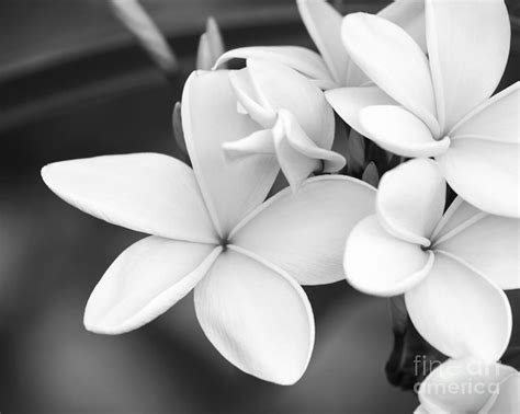 Sabrina Flowers beautiful plumeria in black and white photograph by