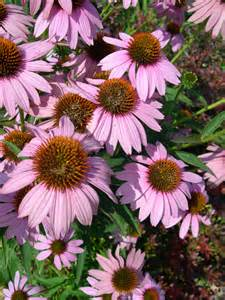 shady herbaceous perennials sewing perennial seeds