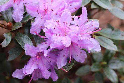 Rhododendron Giftig by Rhododendron Ist Die Azalee Giftig Infos F 252 R Kinder Und