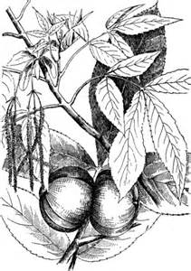hickory leaf coloring page carya ovata or shagbark hickory coloring page
