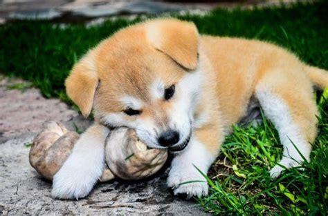imagenes de animales japoneses las 11 mejores razas de perros japoneses animalesmascotas