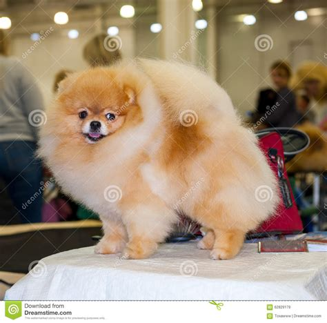 how to groom a pomeranian pomeranian grooming stock image image of spitz show 62829179