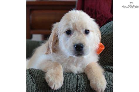 golden retriever puppies fort wayne golden retriever puppy for sale near fort wayne indiana 4b83d555 5181