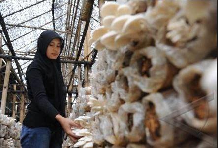 usaha jamur tiram rumahan  mudah  menjanjikan