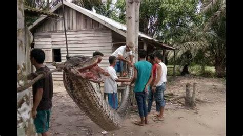 film ular beranak robert nababan terluka usai duel maut dengan seekor ular