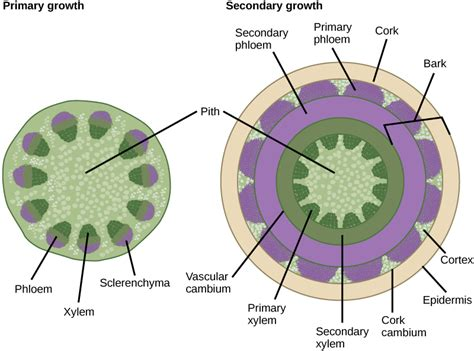 cross section of a woody stem stems 183 biology