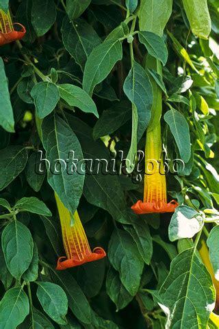 Geranien Giftig by Bild Engelstrompete Brugmansia Pelargonie Pelargonium