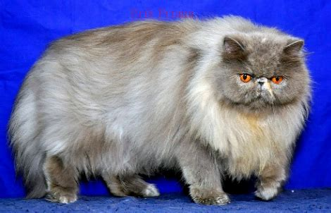 cara membuat cairan oralit untuk kucing 3 cara mudah merawat kucing agar gemuk dan bulunya bagus