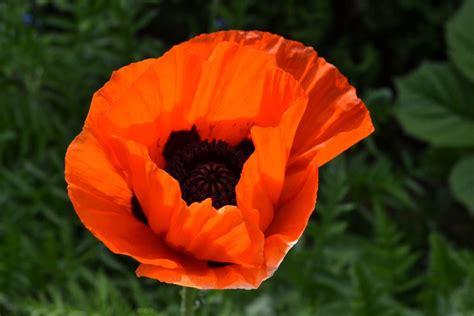 fiore oppio oppio piante da giardino papavero oppio
