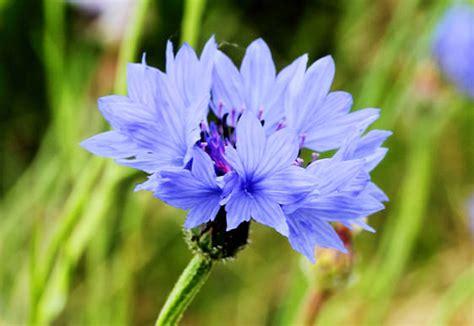 fiordaliso fiore foto scelte per te giardino fiore fiordaliso