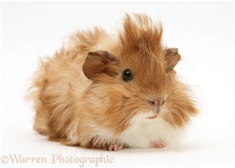 Bad hair day Guinea pig photo WP19543