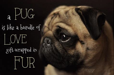 pug screen saver pug wallpapers wallpapersafari