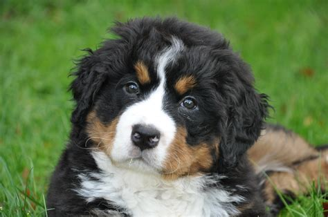 nedlasting filmer amores perros gratis bildet natur dyr gr 248 nn familie virveldyr hunderase