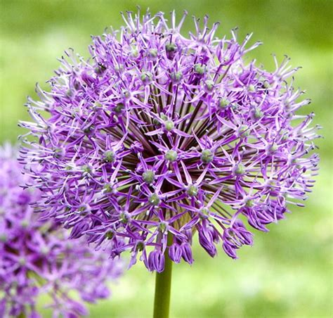 Types Of Garden Plants And Flowers Allium Allium Flower Garden Allium Types Of