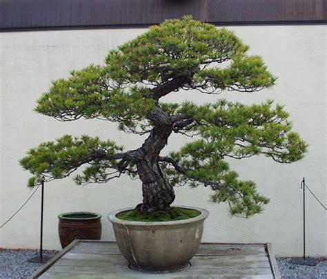 Min 10 Biji Benih Bonsai Pine jual italian cypress bonsai benih bibit biji seeds vast