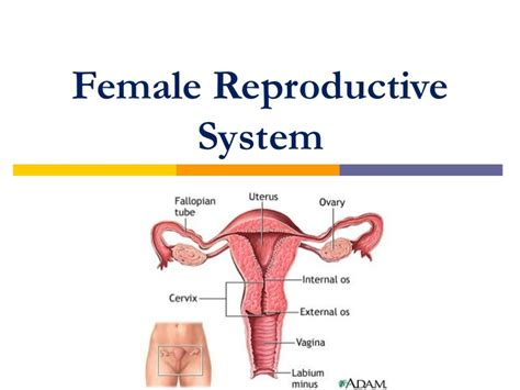 which body section contains the reproductive structures on a beetle female reproductive system diagram image wypc human