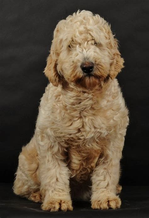 doodle what do they 130 best images about golden doodle grooming styles on