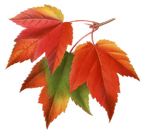 printable autumn leaves vintage printable maple leaves the graphics fairy