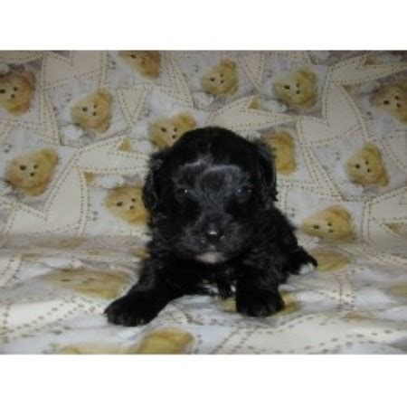 yorkie poo rescue pa amanda cockapoo breeder in fitzgerald listing id 12258