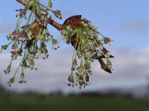 fiori di bach elm elm tutto sul fiore di bach cure naturali it