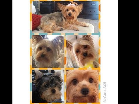glenmore yorkies terrier puppies for sale near missouri city akc marketplace