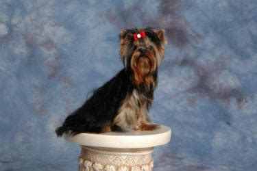 dreammaker yorkies yorkie and statue on