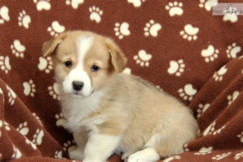 corgi puppies near me corgi pembroke puppy for sale near lancaster pennsylvania 8fb95f8d fb41