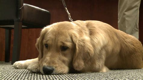tumors in golden retrievers express scripts studying cancer that affects golden retrievers fox2now