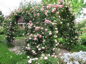 Backyard Climber Climbing Roses