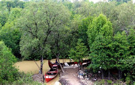 Bibit Udang Raksasa ekosistem mangrove mongabay co id