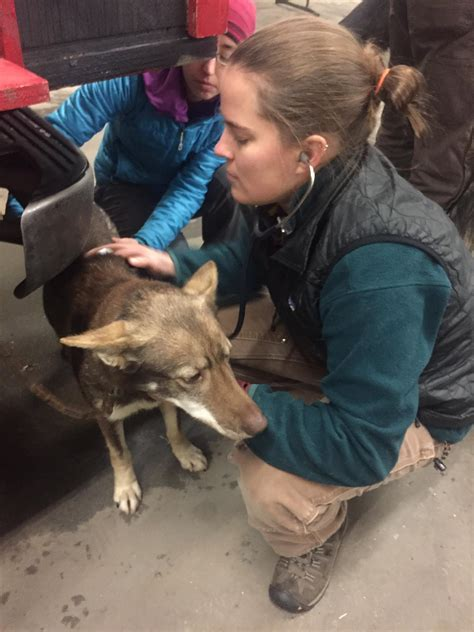 Sled Background Check Sled Dogs Get Their Pre Race Check Up Before The 32nd Yukon Quest Starts Kuac