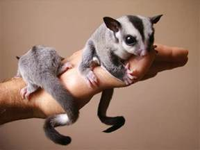 having a sugar glider as a pet must know youtube