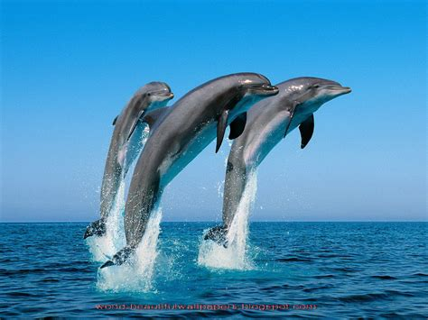 The Dolphin beautiful wallpapers beautiful dolphins