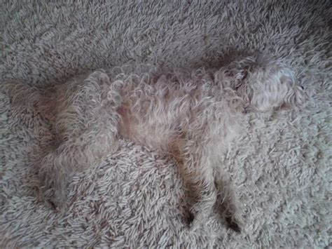 puppy on carpet 1000 images about fluffy doggies on carpets best dogs and in