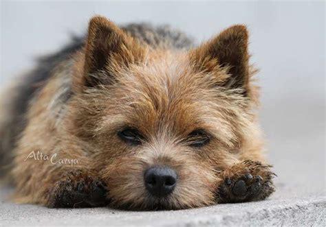 norwich terrier puppies norwich terrier puppies cachorros welpen filhotes šuniukai chiots cuccioli