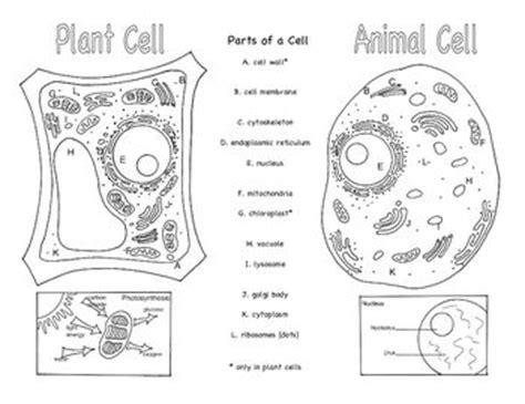 printable animal and plant cell worksheet plant and animal cells brochure ce 1 pinterest kids