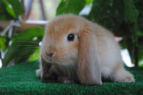 coniglio nano in giardino coniglio ariete nano fulvo allevamento coniglio nano in